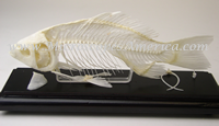 Educational Specimens Fish Skeleton 51001