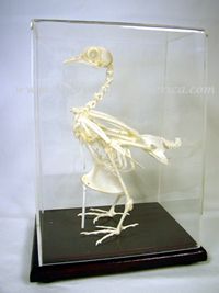 Educational Specimens Pigeon Skeleton Columba livia (Rock Dove) 51003