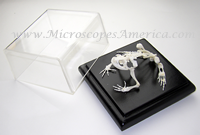 Educational Specimens Toad Skeleton Bufo melanostictus 51002